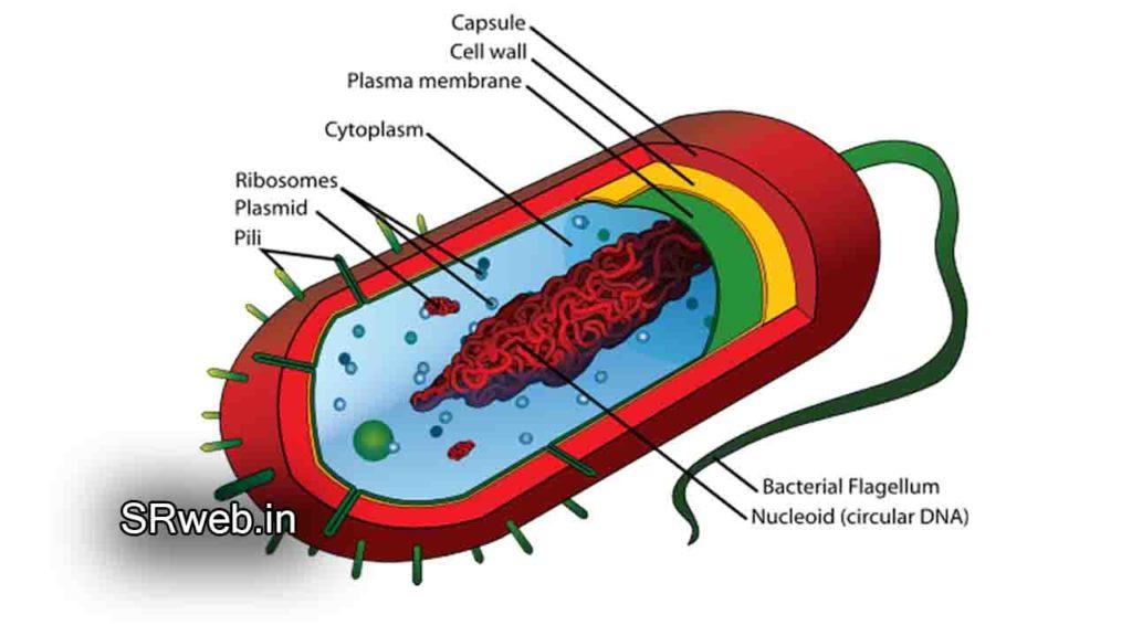 जीवाणु की संरचना (Structure of Bacteria)